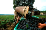 Grape harvest, Burgundy
