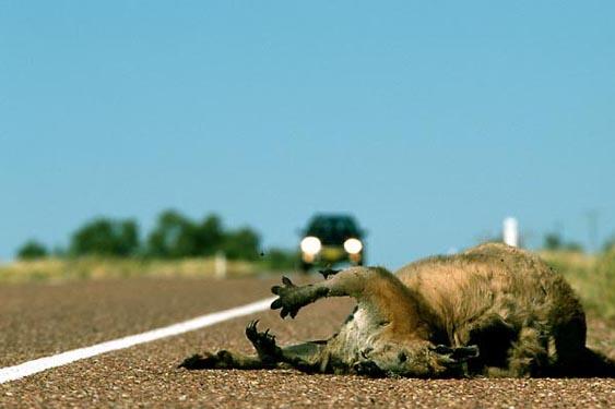 Dead kangaroo, Matilda Highway