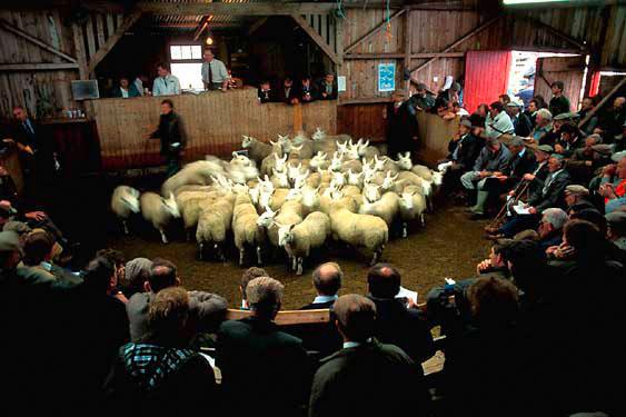 Auction, Lairg lamb market
