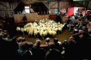 Auction, Lairg lamb market
