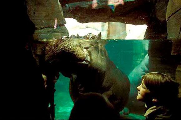 Hippopotamus, Hannover Zoo