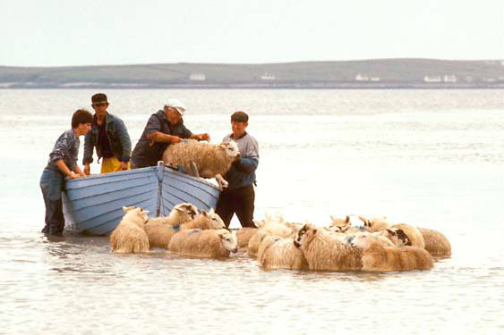 bringing sheep from an island, Donegal