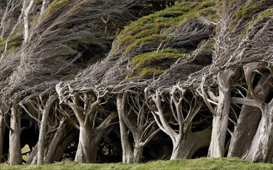Macrocarpa trees near Bluff
