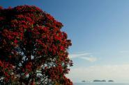 Pohutukawa tree, Coromandel Coast
